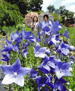 青空の下、色鮮やかに咲き始めたキキョウ=森町の香勝寺で