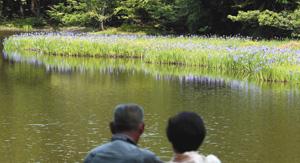 水面に姿を映し、しっとりと咲くカキツバタ=高島市今津町で