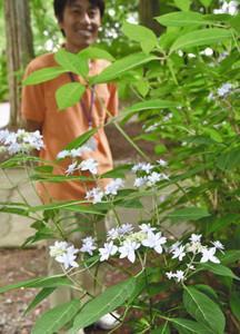見頃を迎えたアジサイ「七段花」の花=射水市の県民公園太閤山ランドで