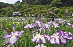 山あいを涼やかに彩るハナショウブ=福井市の大安禅寺で