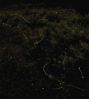 幻想的に舞うホタル(2分30秒間露光)=辰野町で