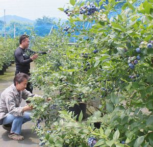 敷地内には90品種、1000本が栽培されている=四日市市桜町の「さくらベリーズガーデン」で