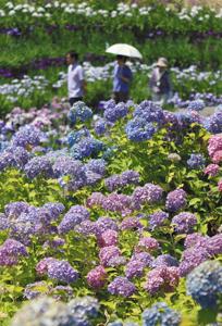 見頃を迎えたアジサイやハナショウブの花=桑名市長島町のなばなの里で
