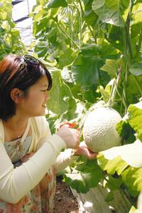 ハウスの中でマスクメロンを収穫する伊藤楓さん=愛知県田原市で