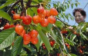 赤く鈴なりに実ったサクランボ=喬木村の信州フルーツ合衆国で