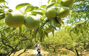 たわわに実り、甘酸っぱい香りを漂わせる梅の実=大津市大石龍門で