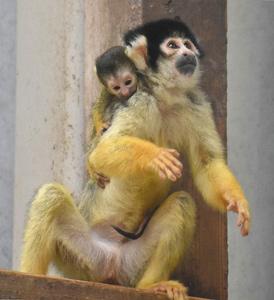 母ザルにしがみつく赤ちゃんザル=豊橋市大岩町の豊橋総合動植物公園で