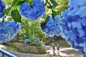 つづら折りの山道を彩るアジサイ=福井市の足羽山で