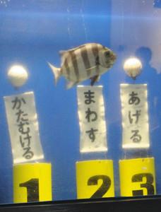 「たてもん祭り」にちなんだおさかなショーに登場したイシダイの「ショーちゃん」=魚津水族館で