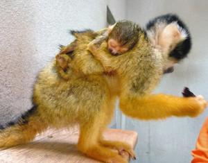 母親の背中にぴたりと張り付くボリビアリスザルの赤ちゃん=鯖江市西山動物園で