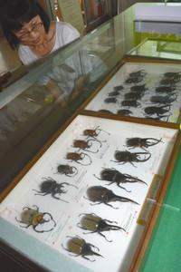 ヘラクレスオオカブトなどの甲虫の標本=岡崎市樫山町で