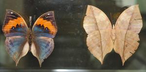 羽の表と裏で模様が違うガの標本=岡崎市樫山町で