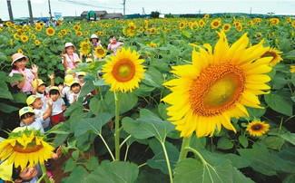 ヒマワリの花を見上げながら迷路を進む園児たち=津幡町湖東で