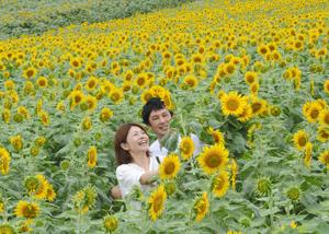一面を黄色く染める大輪のヒマワリ=南知多町の花ひろばで