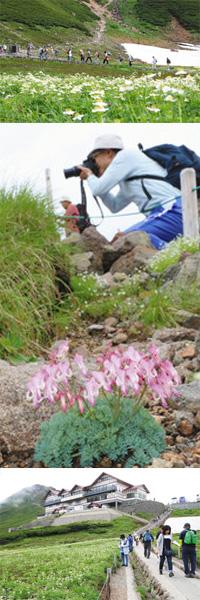 (上)雪が残る谷間に、ハクサンイチゲなどの高山植物が咲き誇る(中)満開となったコマクサは、訪れるカメラマンたちに人気だ(下)お花畑を見ようと、バスターミナルから次々に訪れる観光客ら=いずれも高山市丹生川町の乗鞍岳・畳平で