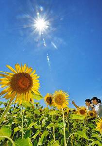 夏の太陽の下、鮮やかさを増すヒマワリ=坂井市のひまわりパークで