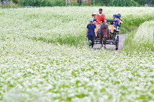 見頃を迎え、一面を白色で染めるソバの花=木曽町の開田高原で
