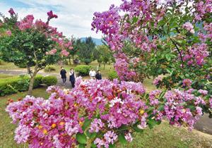 見頃となり、訪れた人たちの目を楽しませているサルスベリ=越前市の越前の里味真野苑で
