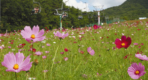 見頃を迎え、スキー場を彩るコスモス=阿智村の治部坂高原で