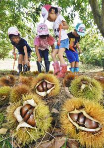 夢中でクリ拾いを楽しむ園児たち=越前市の白山観光くり園で