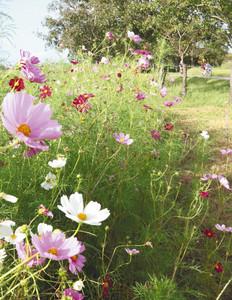 西園地付近で園路を彩るコスモス=小松市の木場潟公園で