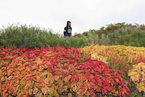 色鮮やかなコリウスの葉とセージの花壇を楽しむ来場者=県中央植物園で