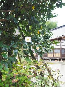 開花したツバキの祐閑寺名月=津幡町倉見で