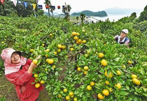 色づき始めたミカンの世話をする酒井武志さん(右)、ふみ代さん=敦賀市大比田で