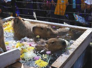 菊の花を湯船に浮かべた温泉を楽しむカピバラたち=須坂市動物園で