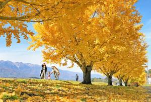 中央アルプスを背に美しい姿を見せるイチョウ並木=中川村で