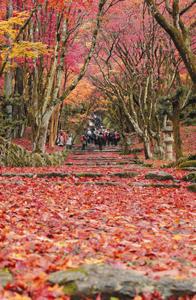 降り積もった落ち葉で赤く染まる鶏足寺の参道=長浜市で