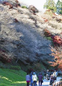見ごろを迎え、紅葉とのコントラストが美しい四季桜=豊田市川見町の川見四季桜の里で