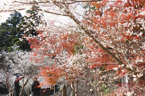 四季桜と紅葉の競演で華やぐ境内=27日、浜松市天竜区山東で
