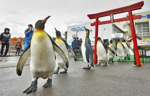 よちよち歩きで鳥居をくぐるオウサマペンギン=坂井市の越前松島水族館で