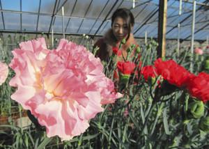 鮮やかな花を咲かせるカーネーション=河津町のかわづカーネーション見本園で