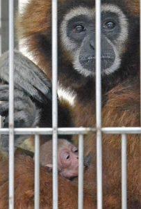 母親にしっかりと抱かれるシロテテナガザルの赤ちゃん=鯖江市西山動物園で