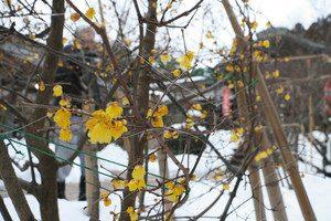 境内に積もる雪の上で、温かな黄色の花を咲かせているロウバイ=敦賀市常宮で