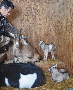 13日朝に生まれた双子の赤ちゃんヤギ(右端の2匹)=別所岳サービスエリアで