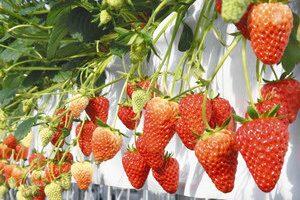 棚で栽培されているイチゴの果実=いずれも白山市上野町で