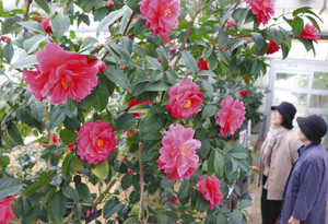大輪を付けたトウツバキ=県中央植物園で