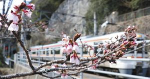 暖かな日差しに誘われるようにほころび始めたカンザクラ=天龍村のJR伊那小沢駅で