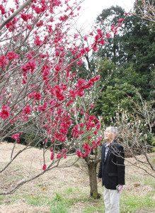 見頃を迎えている鹿児島紅梅=亀山市布気町のうぐいすの森で
