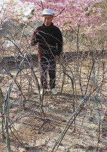 ハナモモの苗木を見ながら、「地域おこしに使ってくれたら」と話す天野和幸さん=浜松市中区花川町の「ばらの都苑」で