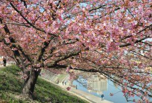 見頃を迎えた乙川沿いの河津桜=岡崎市明大寺町で