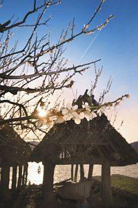 朝日を浴びて湖畔の春風に揺れる梅=若狭町田井の三方湖畔で