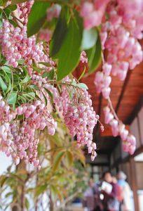 房状にかれんな花を咲かせ、訪れた人の目を楽しませるアセビ=長浜市の大通寺で