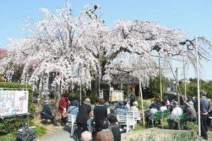 見頃を迎えた雲上の桜=池田町池野で