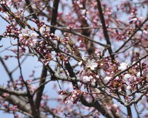 春の陽気で花ひらいた天龍峡のソメイヨシノの基準木=飯田市川路の天龍峡で
