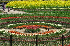 菜の花とチューリップの共演が楽しめるサンテパルクたはら=田原市野田町で