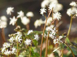 白いかれんな花が見頃のセリバオウレン=高山市久々野町大西の熊野神社で